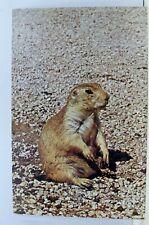 Animal Prairie Dog Postcard Old Vintage Card View Standard Souvenir Postal Post