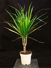 1 ELEGANT EVERGREEN ORNAMENTAL DECORATIVE DRAGON TREE PLANT IN 10CM POT INDOOR