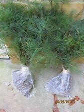 "Qty-10 GEORGIA  APPALACHIAN GROWN WHITE PINE TREE 36"" STARTER TREE SEEDLING #STX"