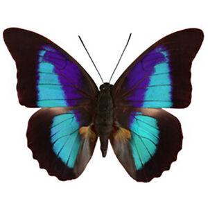 Prepona omphale blue black butterfly El Salvador unmounted wings closed