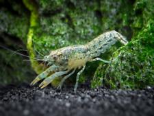 FREE FedEx SHIPPING BLUE DWARF MEXICAN CRAYFISH CPO Moss Java Shrimp Algae