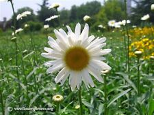 Shasta Daisy x 150 seeds. Perennial Flower. Gift in store.