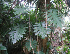 Philodendron radiatum  / Exotic Houseplant / Philodendron🌴