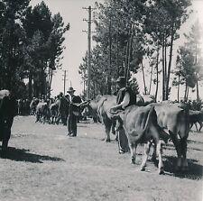 PORTUGAL c. 1949 -  Bétail Éleveurs au Marché de Santa Luzia - DIV 9258
