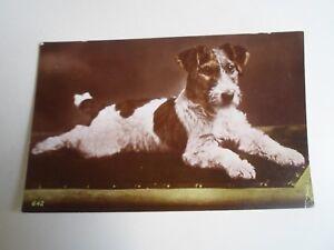 Vintage Colour Real Photo Postcard Gorgeous Wire Fox Terrier  §A1671