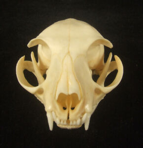 Real Genuine Cat Skull Taxidermy White Head Skeleton (C-029)