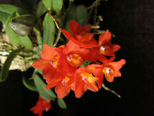 Do-Sophronitis cernua, miniature Cattleya, Orchid species, mounted plant
