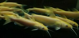 "6""-7"" Albino Channel Catfish  Live Tropical Pond Aquarium Fish Healthy."
