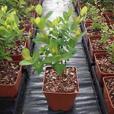 Lonicera caerulea Honeyberry Plant grown in a 2 litre pot. ready to fruit