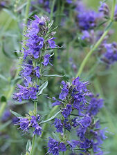 Blue Hyssop garden border herb plant blue flowers summer loved by bees 9cm pot