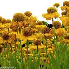 Helen's Flower Flower Seeds - Non-GMO - Untreated - Open Pollinated!