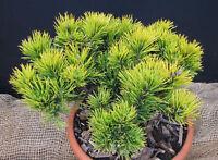 Zwergkiefer Pinus densiflora Bambino 15-20cm Nadelgehölz Zwergsorte