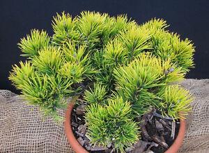 Zwergkiefer Pinus Mugo Carstens Wintergold Nadelgehölz 15-20cm