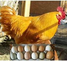 12 Bonus Brown White Amp Green Fresh Fertile Free Range Chicken Hatching Eggs