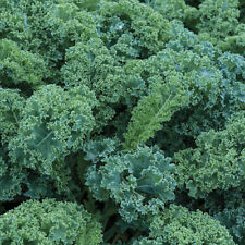KALE BLUE SCOTCH SEEDS ( 60 days ) CURLEA GARDENING SPROUTING FREE SHIPPING