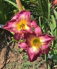 Daylily Plant Lexington Avenue Perennial DF Munson-R.W. Wine Purple Flower