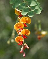 Sesbania Sesban Flowers Bông Điên Điển