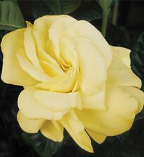 GOLDEN MAGNIFICA Gardenia large perfumed cream flowers plant in 140mm pot