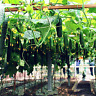 100 PCS Seeds Bonsai Japan Mini Cucumber Vegetable Plants Garden Cucumis Sativus