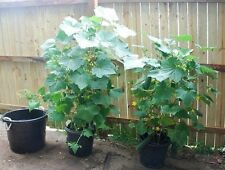 35 SPACEMASTER CUCUMBER SEEDS 2018 ( $3.00 MAX SHIPPING! )