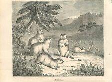 Marmots marmota mammal engraving antique old print 1835