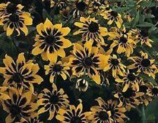 30+ Rudbeckia Solar Eclipse Flower Seeds / Sputnik / Hirta /Perennial