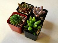 4PK PREMIUM ASSORTED MIX SUCCULENTS