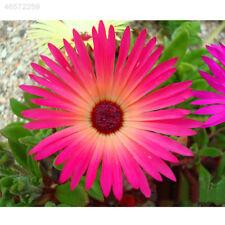3EA8 4000Pcs Rare Ice Daisy Mix Dorotheanthus Bellidiformis Seeds Love Garden