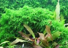 Xmas Moss -LIVE AQUARIUM PLANT for Red Shrimp Pet Pad