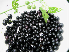 Chichiquelite berry. Edible, very productive, long cropping. minimum 15 seeds.