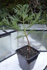 GIANT SEQUOIA TREE (Sequoiadendron giganteum)