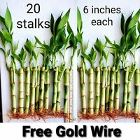 20 Lucky Bamboo Plants 6 Inches Stalks w/ Roots, Gift, Feng Shui, Free Shipping