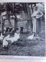 K1-8 Ephemera 1930s Picture Mrs Ogden Kennels Dogs Derwentwater Irish Setters