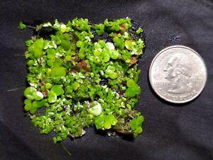Giant & Regular Duckweed Mix (200+) High Quality Floating Aquarium Plant