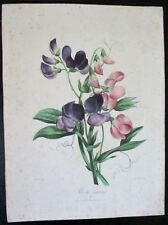 Botanique Lithographie Guenébeaud  XIXe