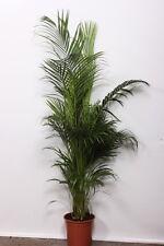 Chrysalidocarpus lutescens 130-150 cm Goldfruchtpalme Arecapalme Zimmerpflanze