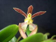 Bulbophyllum lasiochilum - (Burma) species orchid - Bs Div