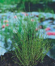Equisetum scirpoides Prêle japonaise naine plante bassin palustre facile