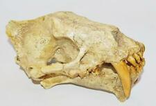 Sabertoothed Cat Skull Cast Hoplophoneus - Replica - NOT REAL FOSSIL - #1332 15o