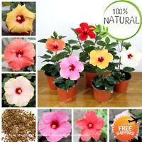 Hibiscus Flower Hibiscus Seeds Plants Bonsai Chinese Rose Mix 100pcs/bag