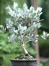 Conocarpus Erectus Sericeus florida native wild tree bonsai shrub seed 15 seeds