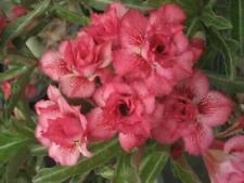 "ADENIUM OBESUM DESERT ROSE ""TRIPPLE LIN"" X 2 PLANT(GRAFTED) FRESH"