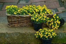 500 Creeping Zinnia Ground Cover Rock Garden Flower Seeds, Bulk - Free Shipping