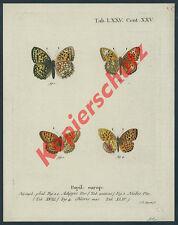 Farb-Kupferstich Jakob G. Sturm Schmetterlinge Butterfly Insekt Lepidoptera 1777