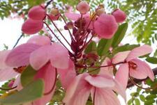 Cassia nodosa Pink Shower Tree pink flowers Seeds!