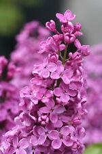 Edelflieder - Syringa vulg.`SARAH SANDS´ - als mehrtriebige Busch, Hoe 60-100 cm