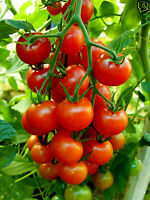 Tomate mexikanische Cocktailtomate- sehr süße kleineTOMATE auch Topf, Balkon,