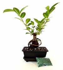 Live Ginseng Ficus Bonsai Tree Bonsai  Small Ficus Retusa Water Tray & Fertilier
