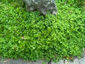 Soleirolia soleirolii Baby's tears Young Plant 9cm Pot Ground Cover x 3 Pots