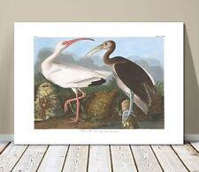 "FAMOUS BIRD ART ~ CANVAS PRINT  16x12"" ~ JOHN AUDUBON ~ White Ibis"